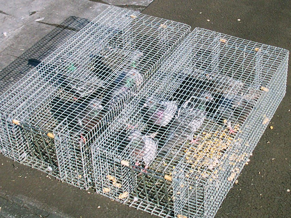 Nassau County Trappper Wildlife Trapping Of Rats Bats